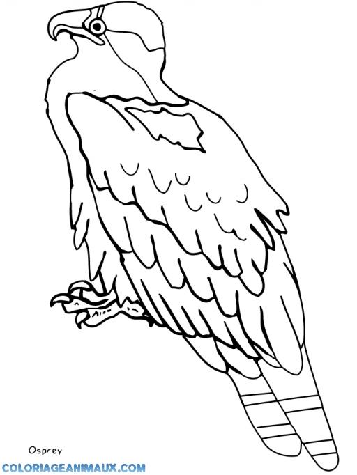 Coloriage aigle l 39 aff t imprimer - Coloriage aigle ...