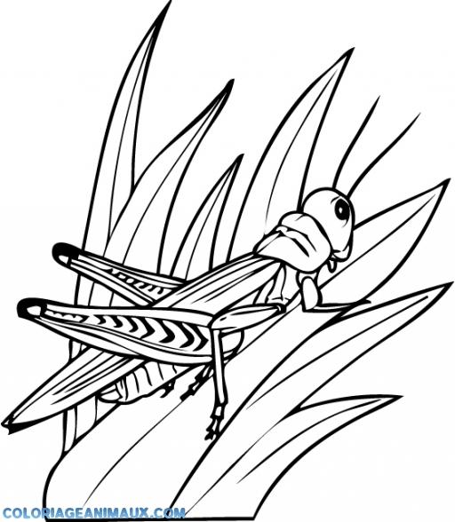 Coloriage belle sauterelle imprimer - Sauterelle dessin ...
