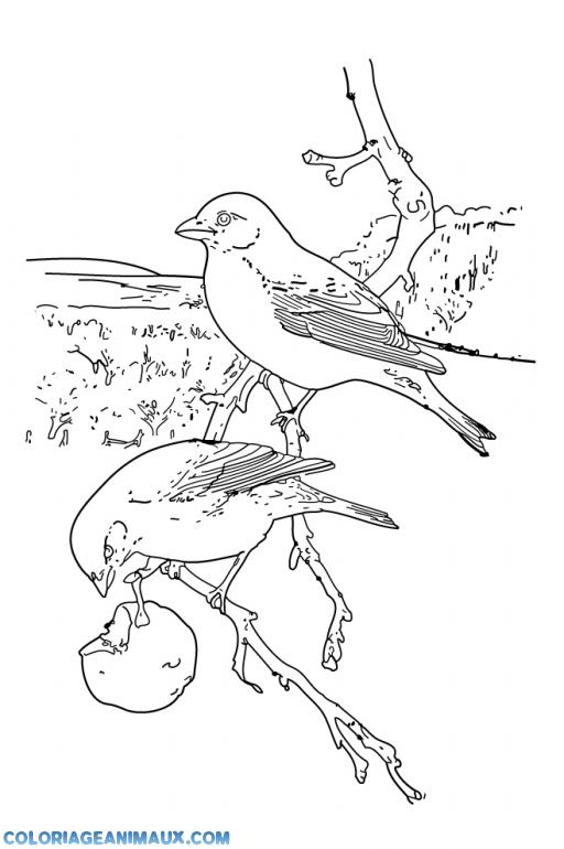 Coloriage Animaux Oiseaux.Coloriage Deux Oiseaux Mangent Une Pomme A Imprimer