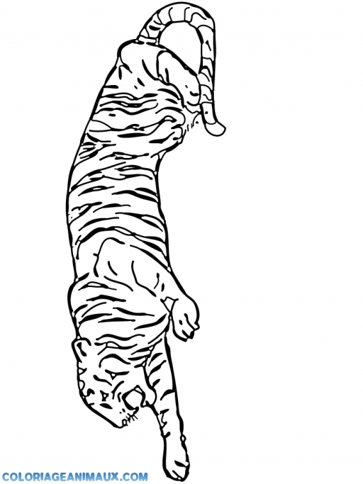 coloriage tigre d'Afrique pour enfants