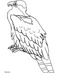 aigle à l'affût
