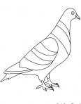 beau pigeon