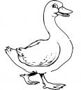 canard de la ferme
