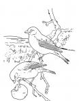 deux oiseaux mangent une pomme
