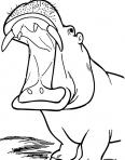 hippopotames la bouche grande ouverte