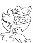 petits canards qui prennent leur bain